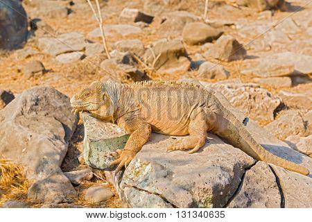 Galapagos Yellow Land Iguana
