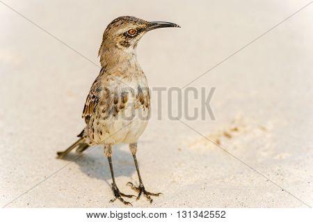 Galapagos Hood Mockingbirds