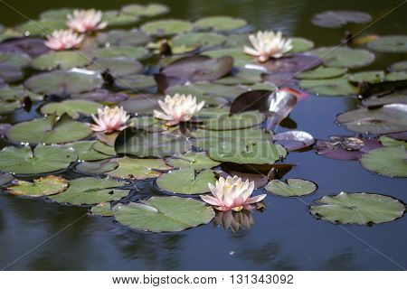 Exotic Flowers Waterlily lotus on a water