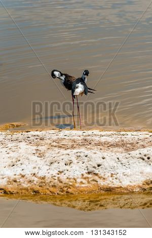 Black Necked Stilt In The Galapagos