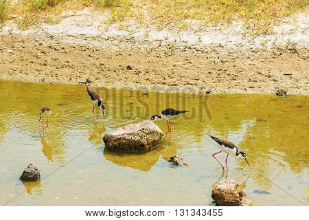 Black necked stilts in a pond on Santa Cruz island of Galapagos
