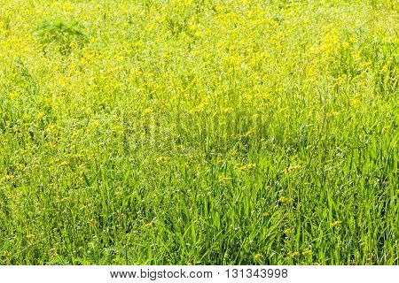 Green meadow with wild flowers on a sunny spring day backlight