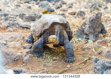 Giant turtle from Santa Cruz Island. Galapagos turtle is the largest living species of tortoise reaching weights of over 400 kilograms lengths of 1.8 meters and live up to 150 years.