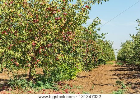 Apple orchard with apple harvest in a sunny autumn day