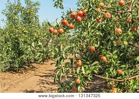 Ripe fruitage on the branches of apple trees in the orchard background