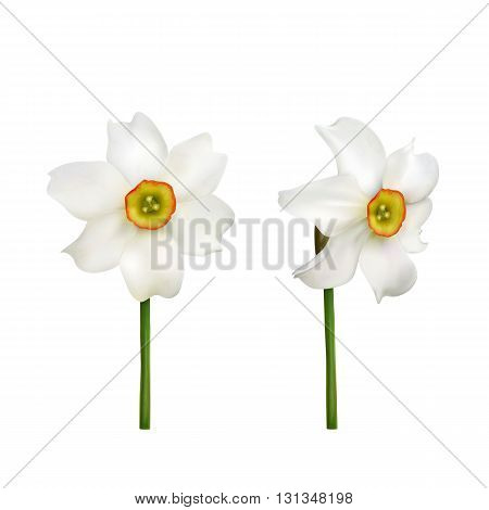 Narcissus flower, set of narcissus isolated on white background, illustration.