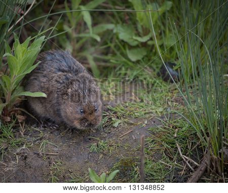 water vole sitting on the river bank