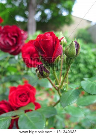 red roses and rose buds in the garden