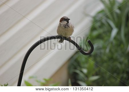 House Sparrow on plant hook taking a rest before returning to it's nest
