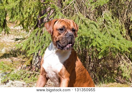 dog of breed the boxer, a brown color, tiger strips, a white breast, the wood, a green young grass, trees on a background,