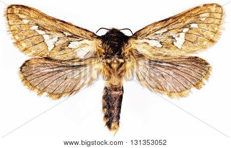 Common Swift Moth on white Background  -  Korscheltellus lupulinus  (Linnaeus, 1758)