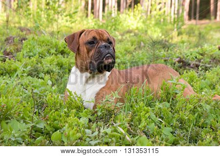 dog breed the boxer, on a grass, a green grass, the wood on a background,