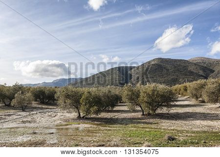 Landscape of olive trees during summer cultivation ecologic Spain