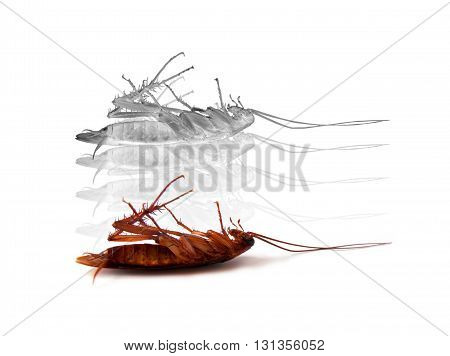 death insect cockroach with white spirit on white background