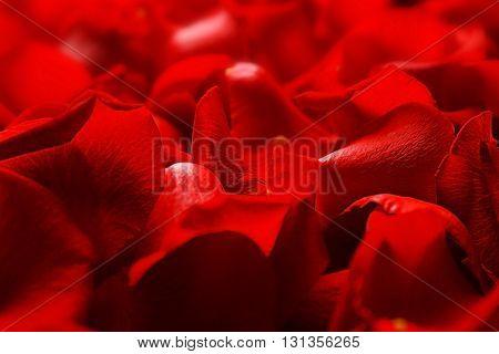 Rose petals, closeup
