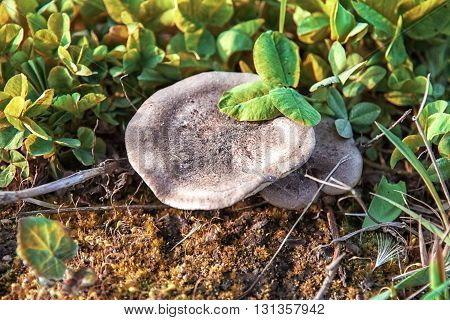 Flat mushroom growing in the green grass