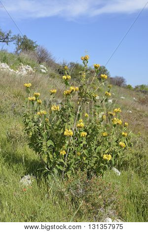 Western Cyprus Jerusalem Sage - Phlomis cypria ssp occidentalis In Hillside habitat. Endemic to Cyprus