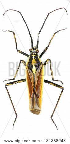 Meadow Plant Bug on white Background  -  Leptopterna dolobrata (Linnaeus, 1758)