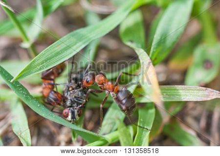 Group of ants formica rufa fighting with a fly on the grass