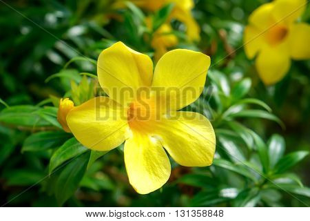 Close up of Allamanda cathartica flowers in the Thai garden