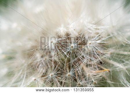 White dandelion abstract macro shot selective focus