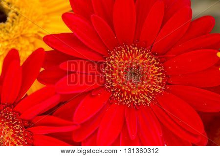 Bright Red And Yellow Gerbera Flowers Background