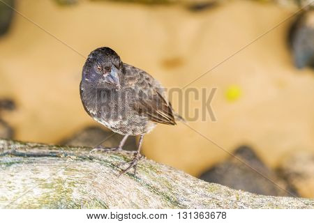 Ground Finch Bird On Santa Cruz Island In Galapagos.