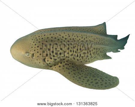Leopard Shark isolated on white background