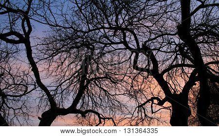 Ominous Silhouette of Desert Trees in the Winter