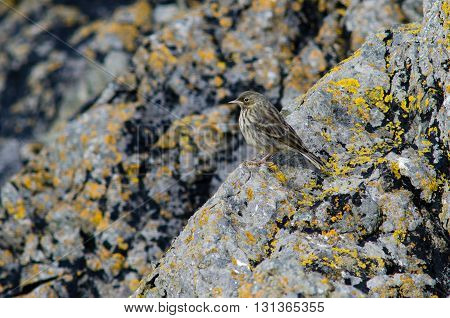 Rock pipit (Anthus petrosus) on rocky coast. Bird in the family Motacillidae shown in typical habitat on British coast