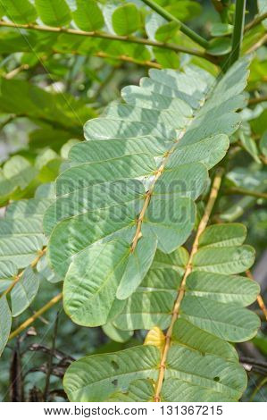 close up fresh green Ringworm Bush leaves in nature garden