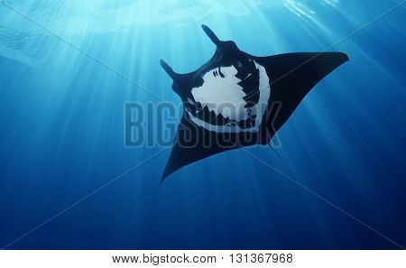Tropical Black and White Stingray swimming in the depth