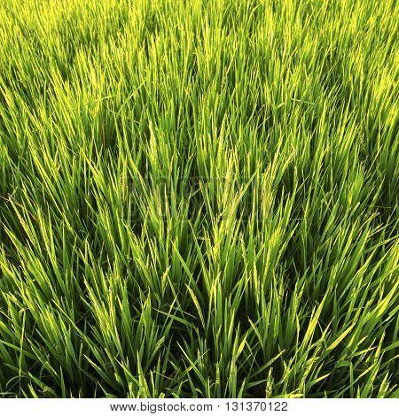 Green rice field closeup.