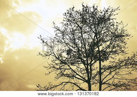 abstract of Bombax ceiba for background used