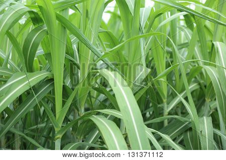 green sugarcane plants in growth at field