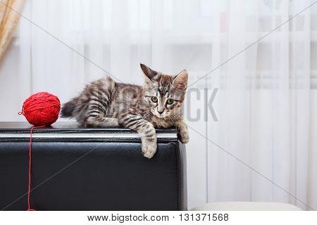 Kuril Bobtail kitten gray. Ball of yarn. Thoroughbred cat. Cute and funny kitten. Pet.