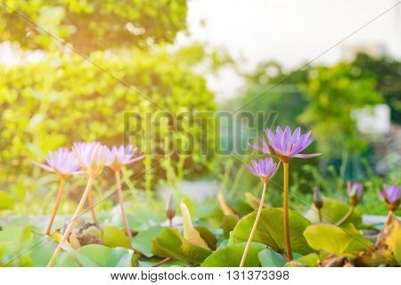 Lotus flower and Lotus flower plants on sunset with lighting effect selective focus.