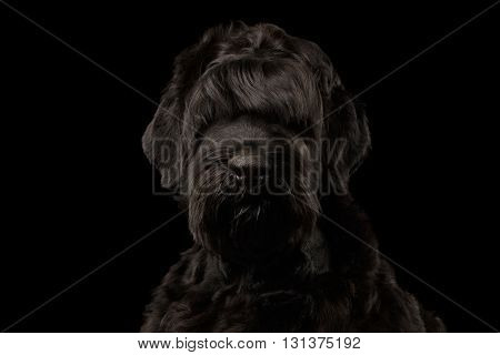 Closeup Portrait of Big Russian Black Terrier Dog Looking in Camera on Isolated Background Front view
