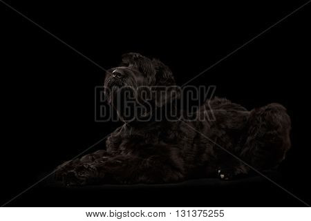 Big Russian Black terrier Dog Lying and Looking up on Isolated Background Side view