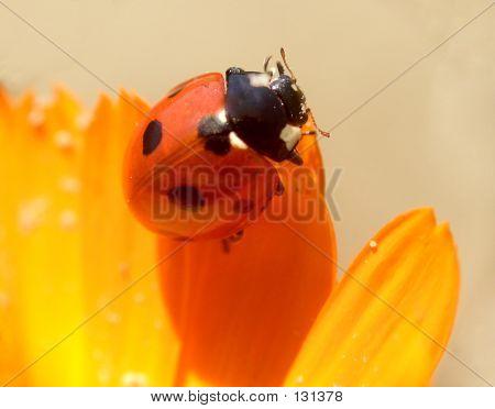 Ladybird...(1)