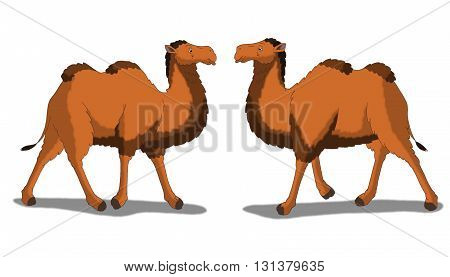 Digital painting of the Bactrian Camel  isolated on white background