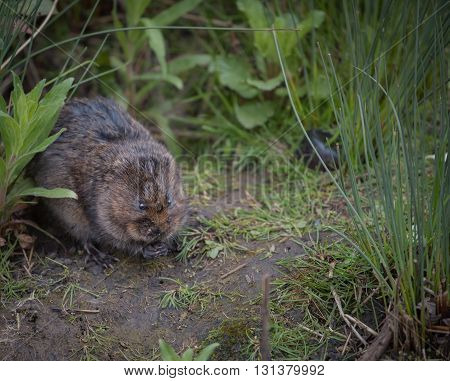 Wild water vole sat with hands together