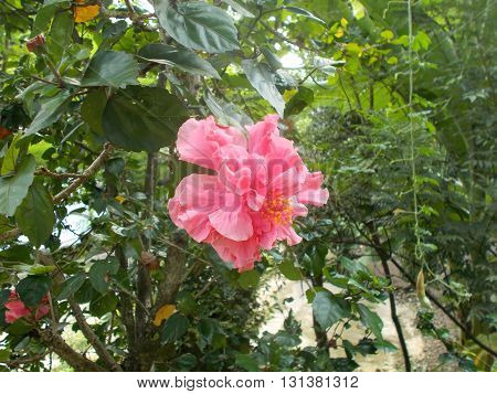 this Hibiscus rosa is the flower one of asian's hibiscus