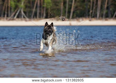 adorable american akita dog on the beach