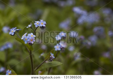 the small blue flowers of a forget me nots
