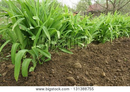Green long leaves grass growing in a soil
