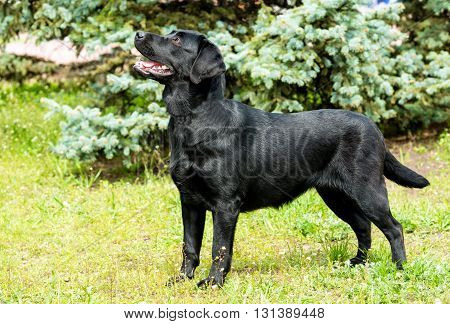 Labrador black waits. Labrador Retriever is on the green grass.
