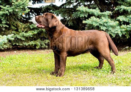 Labrador yellow looks. Labrador Retriever is on the green grass.