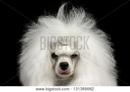 Closeup Portrait of Shaggy Weeping Poodle Dog Squinting Looking in Camera Isolated on Black Background