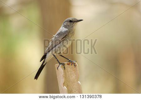 Small gray bird on a iron angle